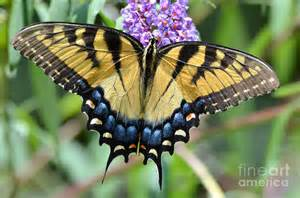 Arizona Photographers Two Tailed Swallowtail Photograph By Kathy Gibbons
