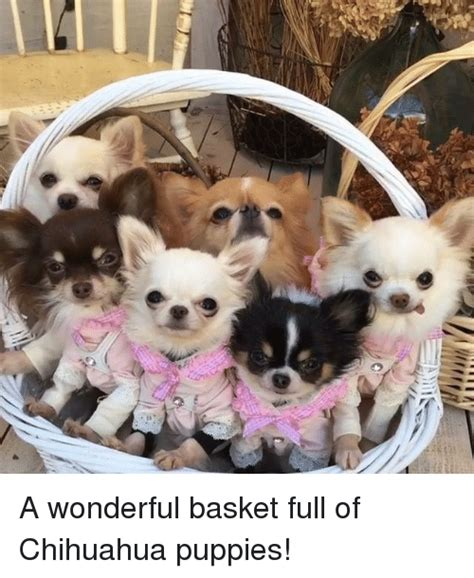 basket of puppies a wonderful basket of chihuahua puppies chihuahua meme on me me