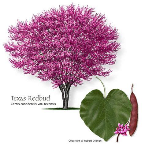 best 25 redbud trees ideas on pinterest eastern redbud