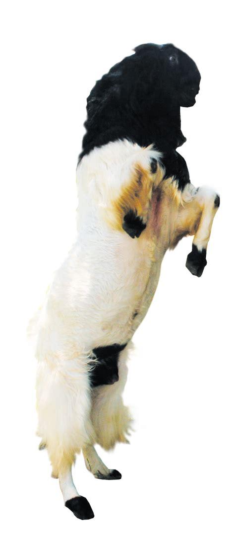 Jual Bibit Kefir Di Bandung kambing etawa dan kefir etawa bandung jual