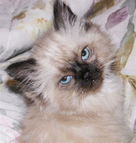 himalayan cats himalayan kittens pictures and info