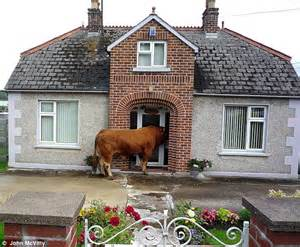 until the cows come home homeowner finds one tonne bull