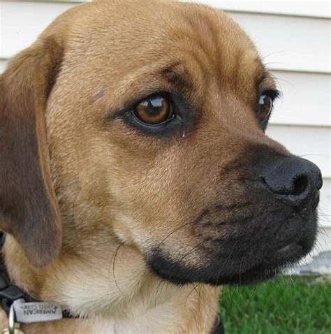 beagle and pug pug mix breeds picture