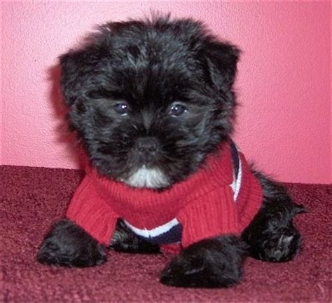 shih tzu puppy care shih tzu care image search results breeds picture