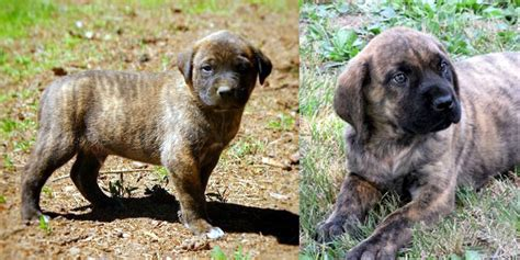 american mastiff puppies american mastiff information temperament names