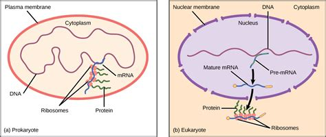 where in a eukaryotic cell does translation occur regulation of gene expression 183 biology