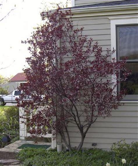 cistena plum flowering shrub cistena plum 7 x 7 well known for its fragrant pink