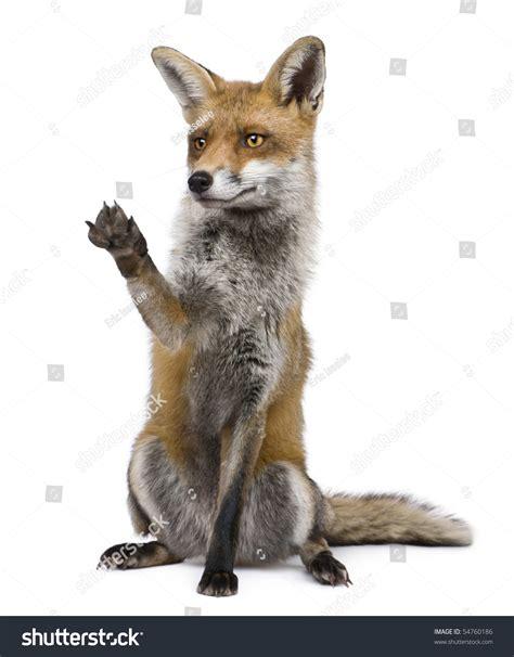 one fox fox 1 year sitting stock photo 54760186