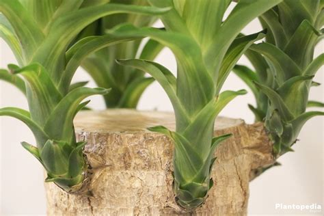 Plante Verte Yucca by Indoor Yucca Plant Yucca Elephantipes Tree How To Grow