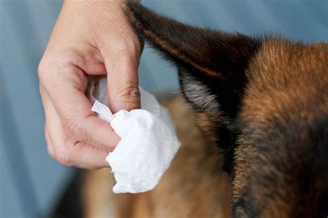 clean s ears with apple cider vinegar best 25 cleaning dogs ears ideas on