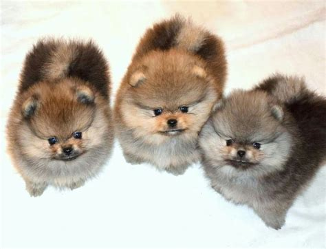 how is a pomeranian 12 minutes 17 best images about pomeranian babies on pomeranian micro teacup