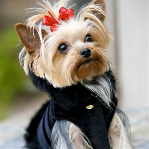 my yorkies keep watering 350 best yorkies images on yorkies dogs and puppies