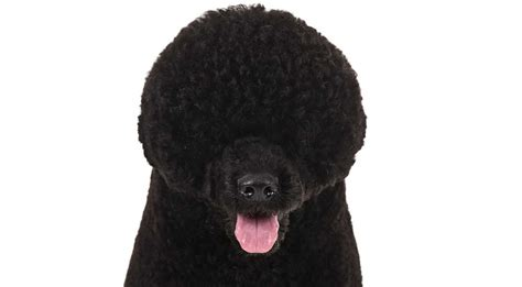 portuguese water dogs portuguese water breed information american kennel club