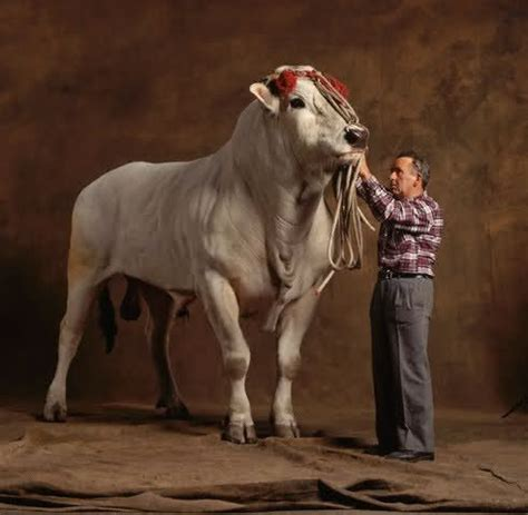 tallest breed chianina bull tallest cattle breed farm