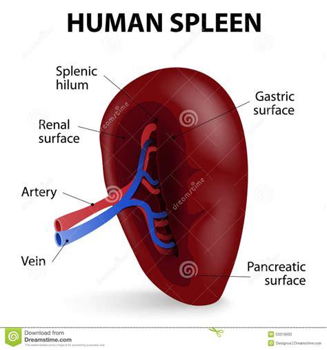 where is my spleen located diagram spleen diagram human anatomy organ