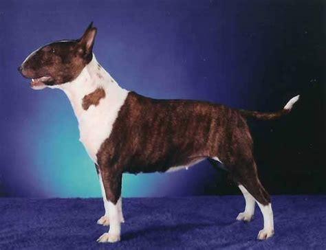 alimentazione bull terrier cucciolo allevamento di bulldog francese a roma allevamenti caput