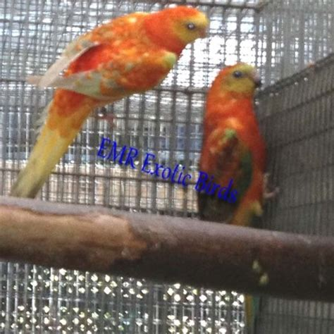 birds for sale san diego male red rump parakeet rumped parakeet 108623 for sale in san diego ca