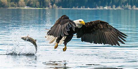 bald eagle birds guide bald eagle national wildlife federation