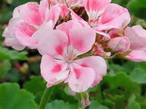 List Of Annual Flowers With Pictures - pelargonium r m light pink annual flower research at
