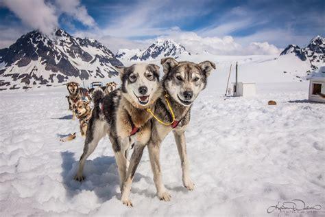 sled tours alaska glacier sledding tour in seward alaska dogsled on snow