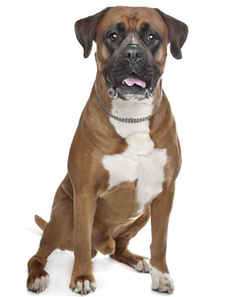 pitbull boxer puppies 9 things you need to before getting a pitbull boxer mix animalso