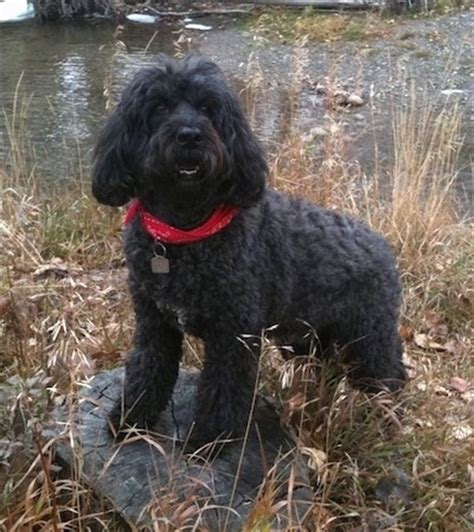 portuguese water dogs portuguese water breed information and pictures