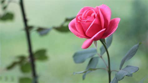 Beautiful Roses Wallpapers Hd