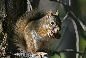 safe quick squirrel removal in richmond charlottesville