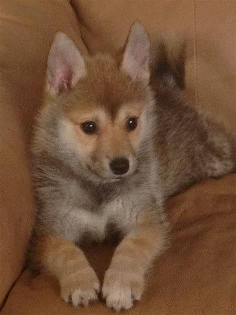 pictures of pomsky puppies pomsky puppies for sale in kentucky breeds picture