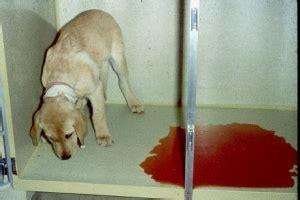 Canine Blood In Stool Diarrhea by Canine Parvovirus