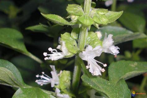 come seminare il basilico in vaso seminare basilico aromatiche come e quando seminare il
