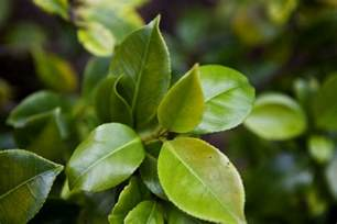 japanese camellia leaves clippix etc educational photos for students and teachers