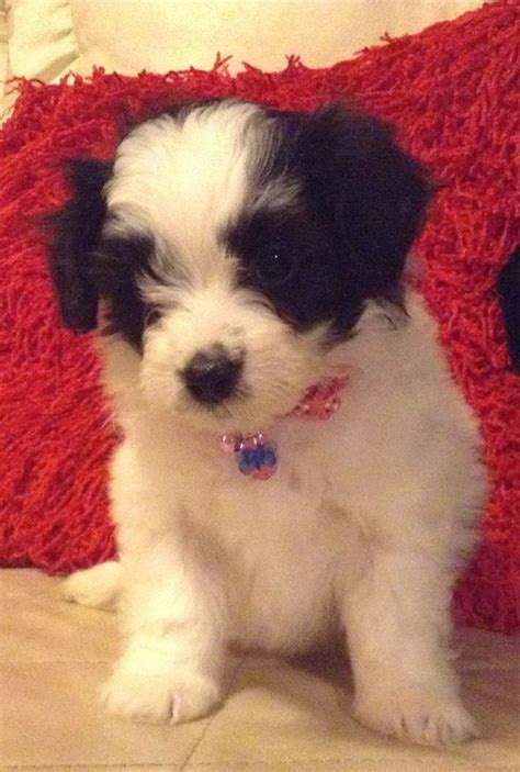 lhasa poo puppies for sale beautiful lhasa poo puppies for sale coventry west midlands pets4homes