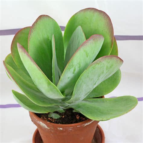 kalanchoe thyrsiflora suculentas plantas suculentas