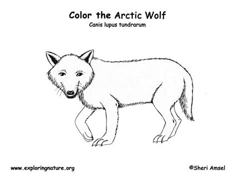 preschool wolf coloring pages wolf arctic coloring page