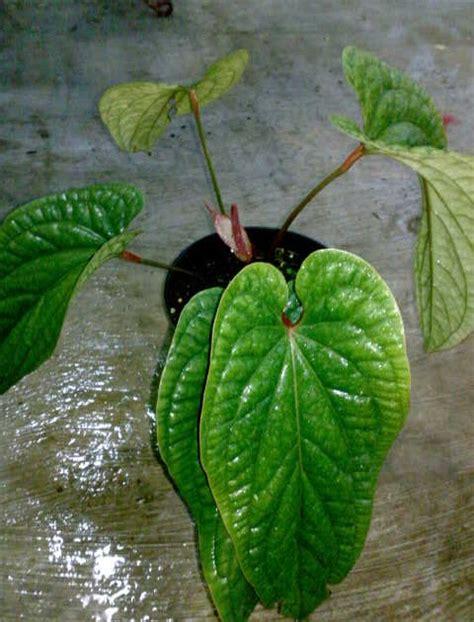 budidaya  pengembangan budidaya ciri ciri tanaman
