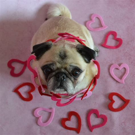 pug puppy image the world s best photos of coth and pugs flickr hive mind