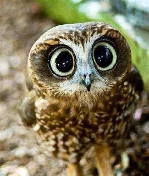 baby owl with large cute eyes http ift tt 2dpban0 baby