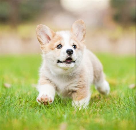 and in a puppy best quality corgi puppies for sale in singapore march 2018