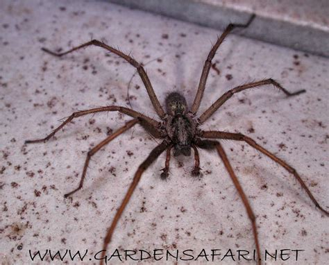 common house spider gardensafari common house spider tegenaria atrica tegenaria saeva with many
