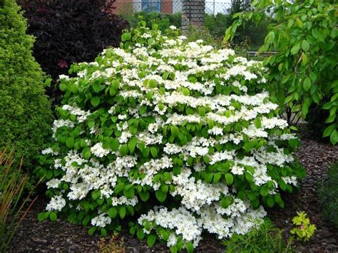 Garden Flowering Shrubs 25 B 228 Sta Evergreen Shrubs Id 233 Erna P 229 Buskar Och Blommor Tr 228 Dg 229 Rd