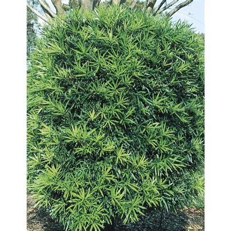 Bush Topiary - shop 2 gallon podocarpus screening tree l8348 at lowes com