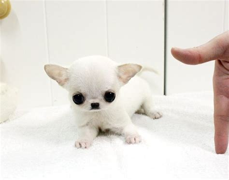 applehead chihuahua puppies 17 best images about apple dogs on chihuahuas puppys and buy apple