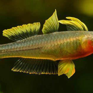 peluang usaha budidaya ikan indonesia peluang usaha budidaya ikan furcata dan analisa usahanya