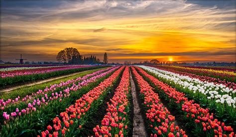 giardini olandesi tulipark arriva in italia il giardino dei tulipani in
