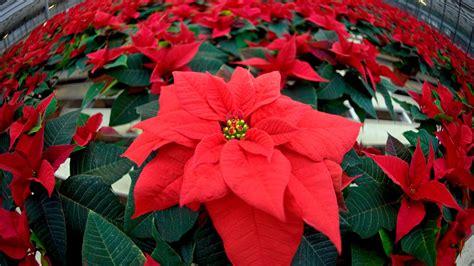 Blumen Die Lange Halten pflege tipps f 252 r weihnachtssterne so halten die pflanzen