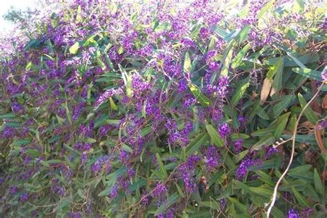 lilac climbing plant 17 best images about drought tolerant vines on