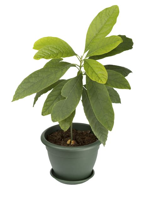 houseplant vine how to grow avocado indoors tips on caring for avocados