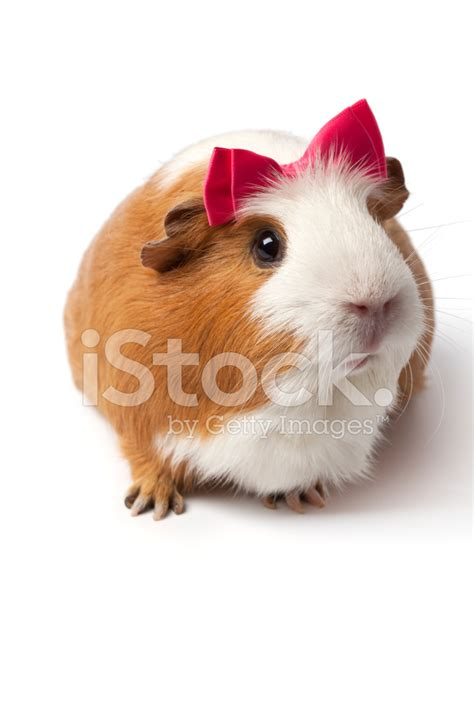 guinea pigs online splash page guinea pig with a pink bow stock photos freeimages com