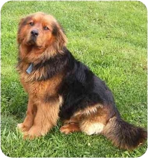 chow chow rottweiler mix chow chow american staffordshire terrier mix breeds picture